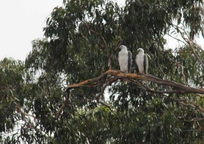 White-bellied sea eagles