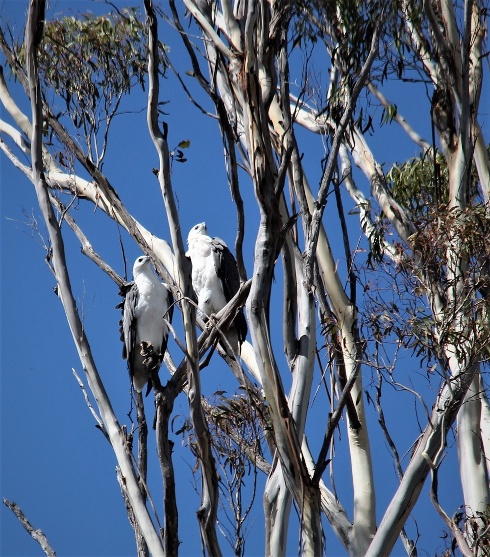 Adult pair of White-bellied Sea Eagles