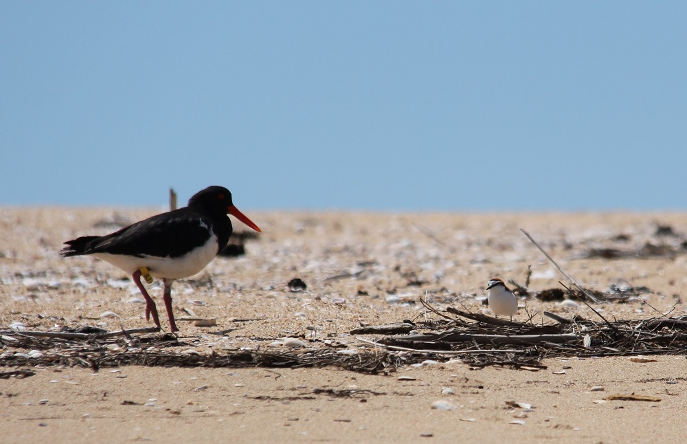 Pied Oyster Catcher and Red-capped Plover