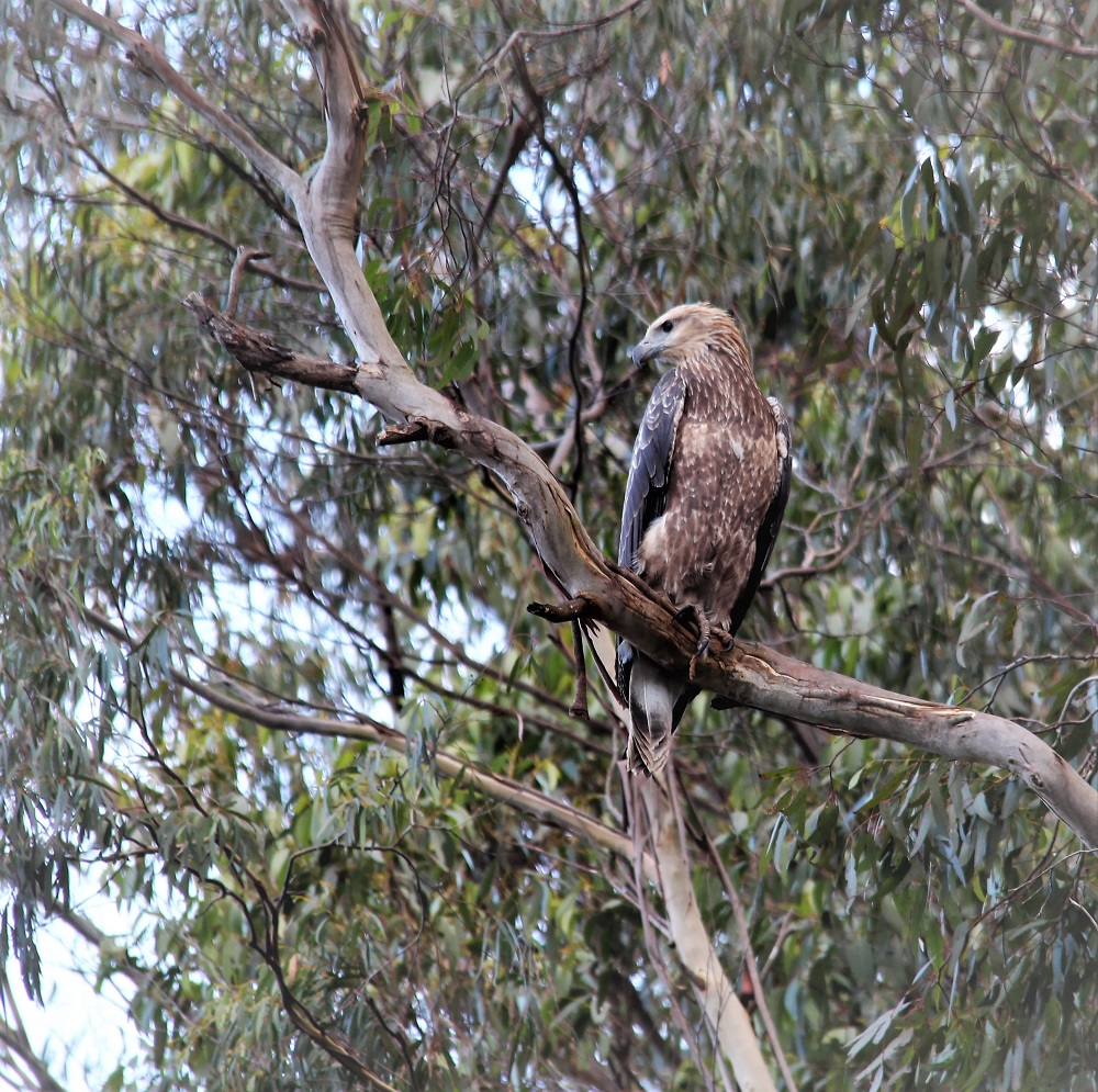 Very young White-bellied Sea Eagle