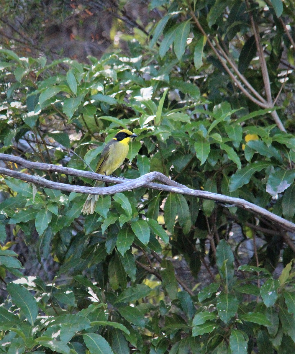 Yellow tufted honeyeater