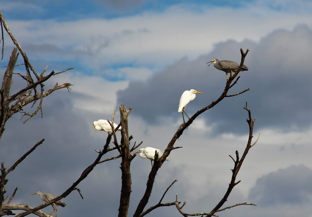 Egrets and a White-faced heron