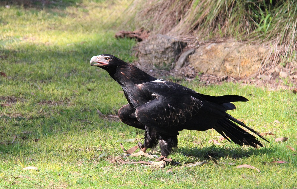 Who's the biggest of them all? Wedgies – really big birds.