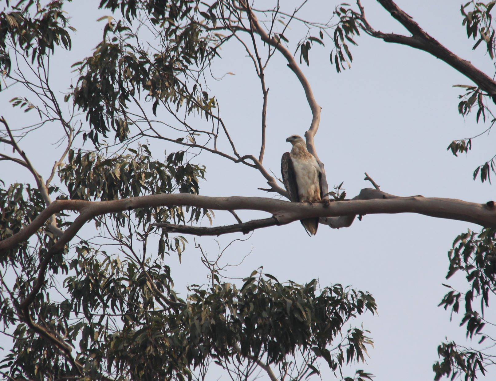 Young White bellied sea eagle